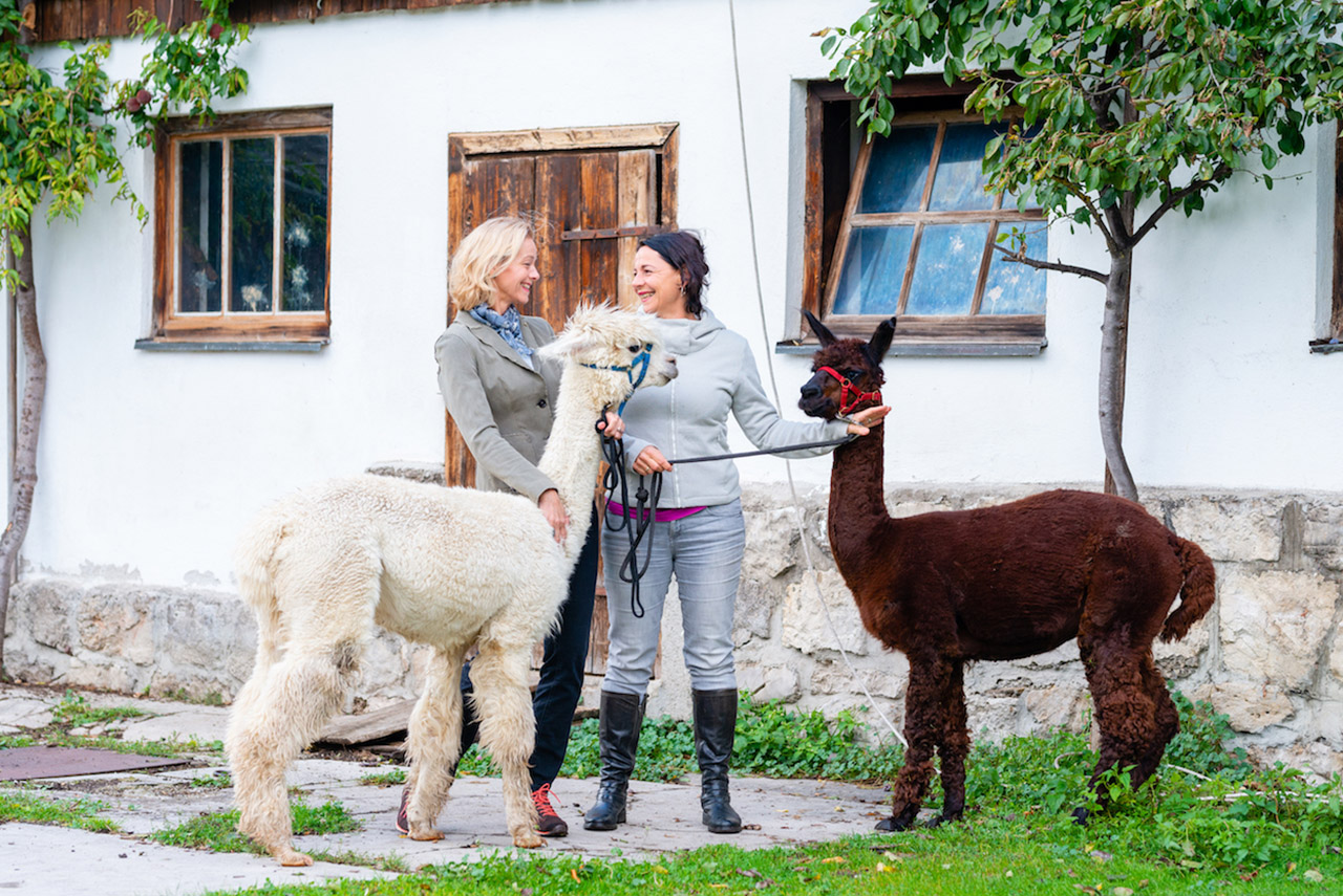 Training mit Alpakas